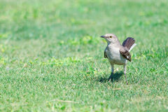 Mockingbird on grass. Northern mockingbird standing on grass Royalty Free Stock Photography