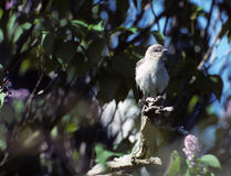 Mockingbird. Grey / White Mockingbird perched on limb.  Connetquot River State Park, New York Stock Photography