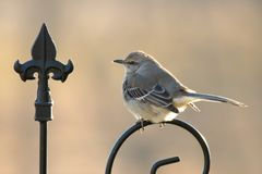 Mockingbird On Guard. A Mockingbird, its feathers fluffed up against the cold, perches just above the feeder in order to guard it from any other birds stock image