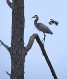 Mockingbird Harasses Great Blue Heron Stock Photography