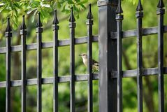 Mockingbird and iron fence. Northern mockingbird watches from behind an iron fence royalty free stock images