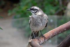 Mockingbird Long-tailed foto de stock royalty free