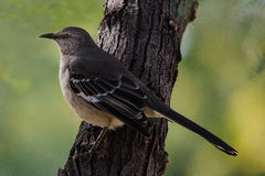 Mockingbird. A male Mockingbird perched on the side of a tree Stock Photo