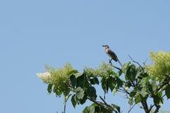 Mockingbird Mimus polyglottos umieszczali w ?piewie i krzaku fotografia stock