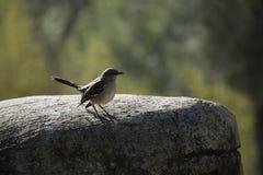 Mockingbird na skale Zdjęcie Royalty Free