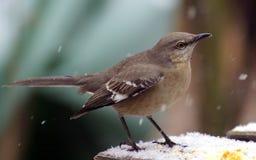 mockingbird śnieg Fotografia Royalty Free