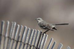 Mockingbird nordico (polyglottos del Mimus) Immagini Stock Libere da Diritti