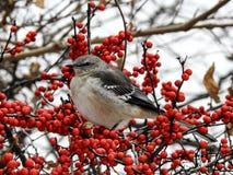 Mockingbird norteño Foto de archivo libre de regalías