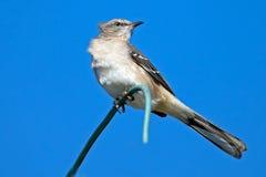Mockingbird norteño fotografía de archivo