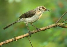 Mockingbird norteño Imagenes de archivo