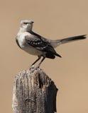 Mockingbird norteño Imagen de archivo libre de regalías