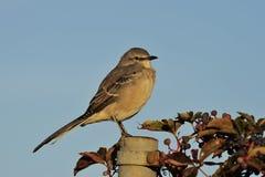 Mockingbird norteño en luz de la mañana fotos de archivo