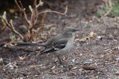 Mockingbird norteño, polyglottos del Mimus Fotos de archivo