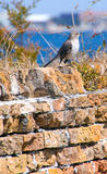 Mockingbird on old brick wall Stock Photos