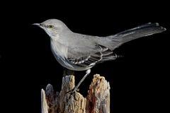 Free Mockingbird On Black Royalty Free Stock Images - 7960299