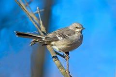 mockingbird północny Obraz Stock