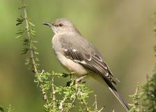 mockingbird północny Obrazy Royalty Free