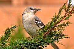 mockingbird północny Zdjęcie Stock