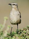 Mockingbird patagón Imagen de archivo libre de regalías