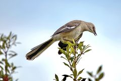 Mockingbird. Perched on branch Stock Photo