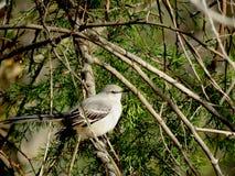 Mockingbird perched in cedar branches Royalty Free Stock Photos