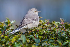 Mockingbird 2. Mockingbird perched on an evergreen bush Stock Photos