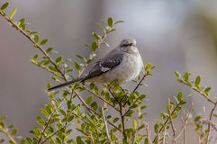 Mockingbird. Perched in an evergreen bush Royalty Free Stock Image