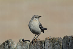 Mockingbird Perched on Fence Royalty Free Stock Photography