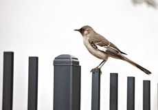 Mockingbird. Perched on a fence at a private college in Arizona Royalty Free Stock Images