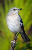 Mockingbird Perched Stock Photos