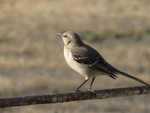 Mockingbird Perched on Old Pipe Rail Royalty Free Stock Images