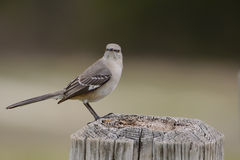 Mockingbird perched on post looking forward Stock Images