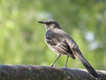 Mockingbird Perched on a Rusted Pipe Rail Royalty Free Stock Photos