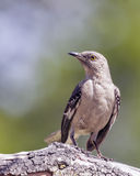 Mockingbird Perched on Tree Branch Stock Images