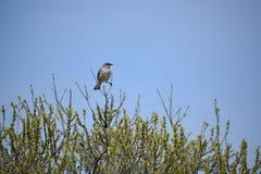 Mockingbird perched on a tree stock photo