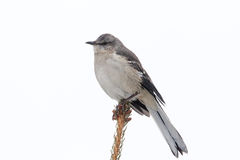 Mockingbird in a Pine Tree Stock Photo