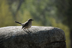 Mockingbird on a Rock Royalty Free Stock Photo