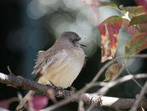 A Mockingbird sings on a tree branch stock photography