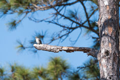 Mockingbird sits on edge of limb royalty free stock photos