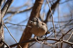 Mockingbird sits in tree Royalty Free Stock Photos