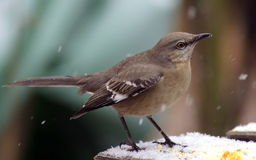 Mockingbird in the snow. In the back yard Royalty Free Stock Photography