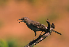 Mockingbird Squawking. A mockingbird sqauwking while perched on a dead limb Stock Photography