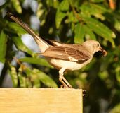 Mockingbird. Standing on our swing set in my backyard. You can see it has lunch in its beak Royalty Free Stock Image