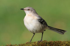 Mockingbird On A Stump Royalty Free Stock Photos