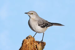 Mockingbird On A Stump. Northern Mockingbird (Mimus polyglottos) in winter on a log with a blue sky background Royalty Free Stock Images
