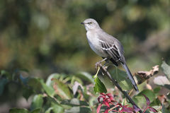 Mockingbird On A Stump Stock Images