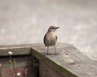 Mockingbird su una rete fissa Fotografia Stock Libera da Diritti