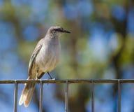 Mockingbird Tiza-cejudo Foto de archivo libre de regalías