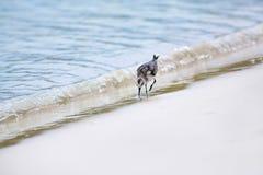 Mockingbird on Tortuga bay Stock Photography