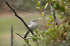 Mockingbird in tree Stock Photography